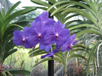 PURPLE: Orchids in the conservatory