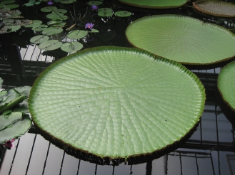 GREEN: Enormous lily pad!
