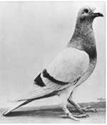 Pigeon_William_of_Orange