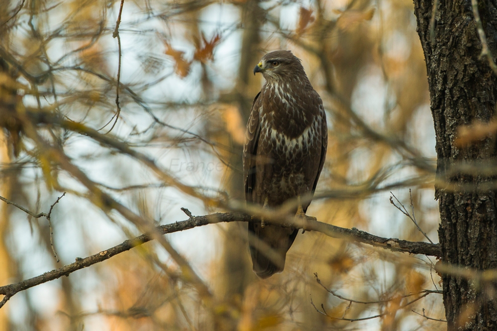 Common_Buzzard_-_Kisjuszallas_-_Hungary_S4E0471_(15858635042)
