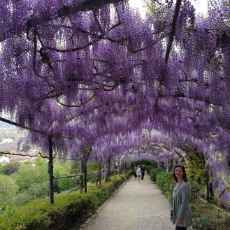 Purple wisteria tunnel at the Giardino Bardini